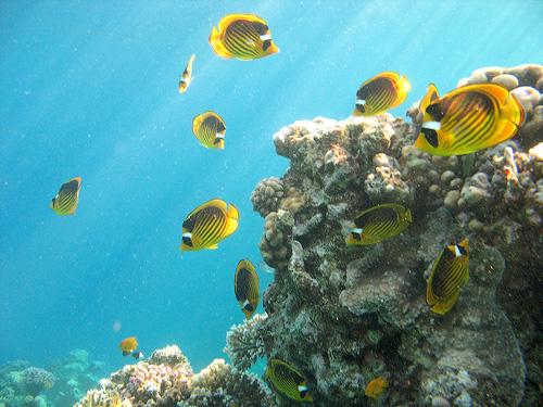 Стайка рыбок бабочек на фоне кораллов
