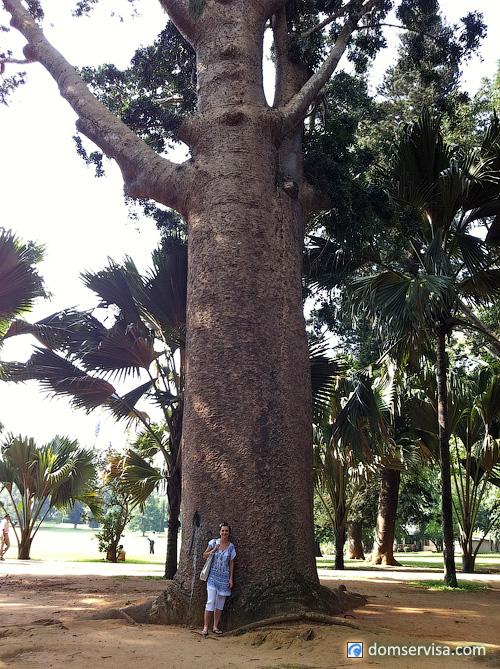 Слоновое дерево на Шри-Ланке