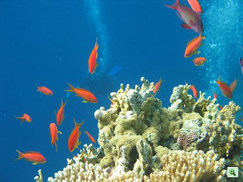 Красные рыбки возле кораллов и водолазы на заднем плане
