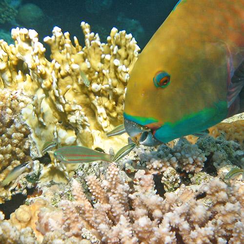 Клюв рыбы-попугая крупным планом