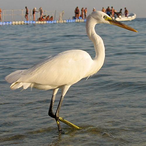 Птица на пляже отеля Tiran Island, Шарм эль Шейх