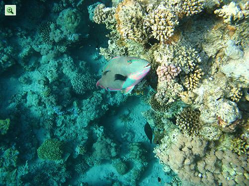 Разноцветная экзотическая рыба ест кораллы