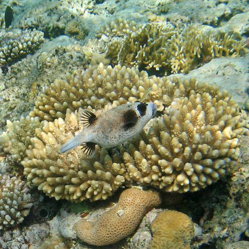 Рыба-шар в Шарм эль Шейхе