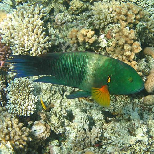 Зеленая рыба с оранжевыми плавничками